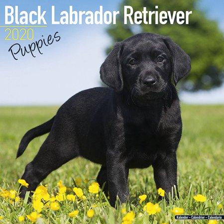 Labrador Retriever Puppies Calendar 2020 -  Black Lab Retriever Puppies Dog Breed Calendar - Labrador Retriever Puppiess Premium Wall Calendar 2019-2020