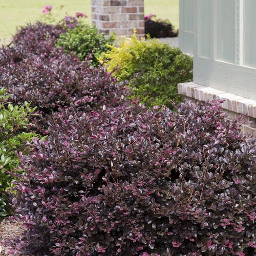 Purple Diamond Loropetalum Live Evergreen Shrub Southern Living