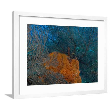 Deep Water Sea Fan and Encrusting Orange Sponge, Hol Chan Marine Preserve, Barrier Reef, Belize Framed Print Wall Art By Stuart Westmoreland ()