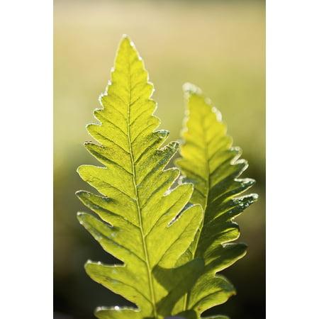 Close-Up Of Green Ferns Saint-Remi-De-Tingwick Quebec Canada Canvas Art - Yves Marcoux  Design Pics (12 x 18)