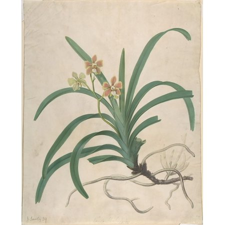 Study Of An Orchid Vanda Roxburgia Poster Print By James Sowerby  British London 1757   1822 London   18 X 24