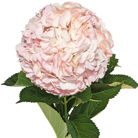 Fresh Cut Airbrushed Light Pink Hydrangeas, Pack of 15 by InBloom Group