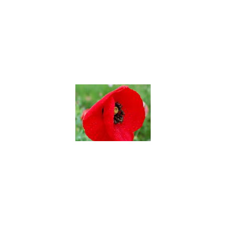 Papaver Somniferum Poppy Seeds - The Dirty Gardener Papaver Rhoeas Red Corn Poppy Flower Seeds - 1 Ounce