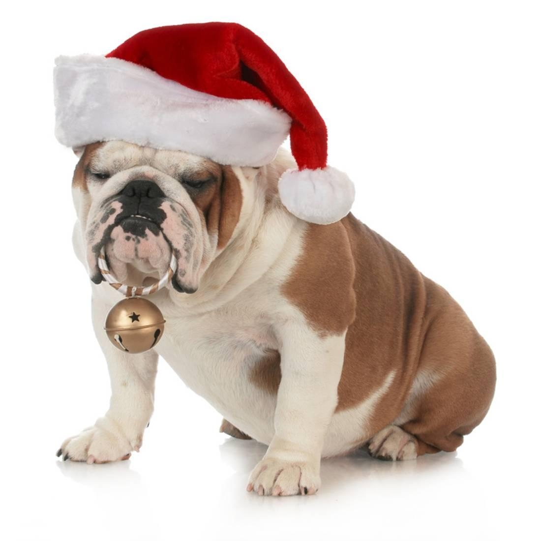 Christmas Dog - English Bulldog Wearing Santa Hat Holding Christmas ...