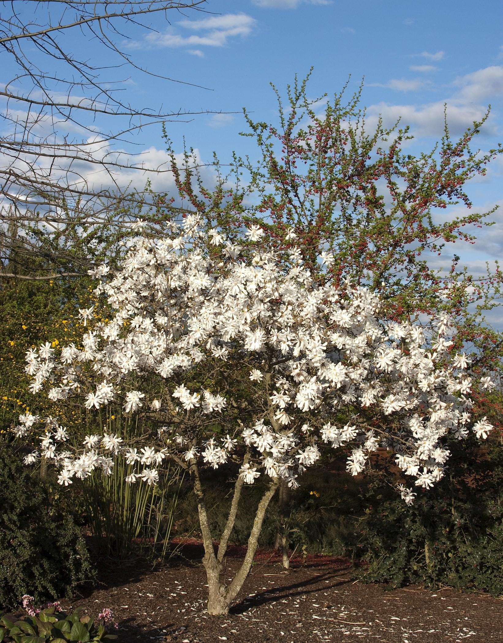 Royal Star Magnolia Stellata Pure White Very Hardy 4 Pot