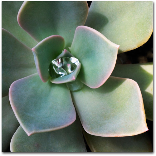 "Trademark Fine Art ""Succulent Rain Drop"" Canvas Wall Art by Kurt Shaffer"