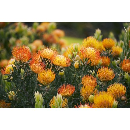 Hawaii Upcountry Maui Orange Pin Cushion Protea Blossoms On Bush Canvas Art - Ron Dahlquist Design Pics (17 x 11)