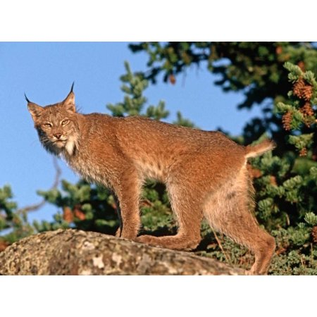 Canada Lynx climbing on rock North America Poster Print by Tim (North American Rock)