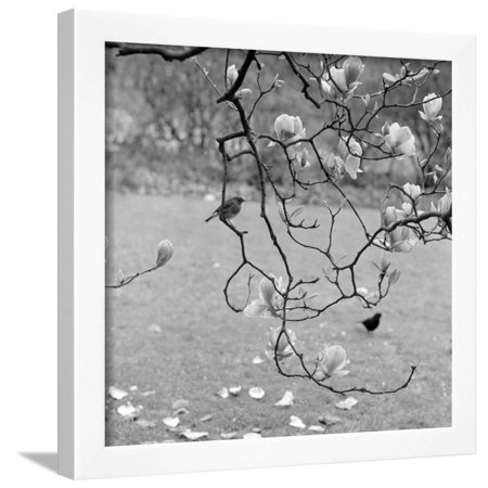 Kew Gardens, Greater London. a Robin Perched on a Twig of a Magnolia in Bloom at Kew Gardens Framed Print Wall Art By John Gay - G-a-y Halloween London