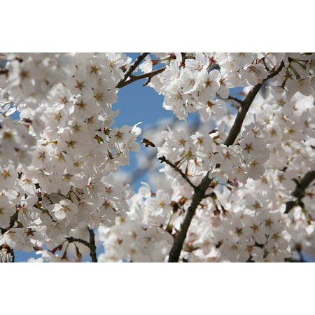 LAMINATED POSTER Spring Cherry Blossom Flowers Nature Plants April Poster Print 24 x (Cherry Blossom Plate)