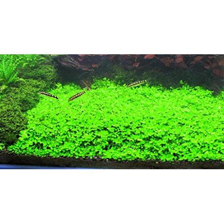 Montecarlo on 5 x 3 mat - Easy Foreground Carpet Aquarium