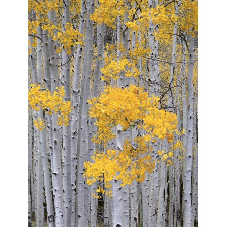 Aspen Grove on Fish Lake Plateau, Fishlake National Forest, Utah, USA Forest Tree Photography Print Wall Art By Scott T. Smith ()