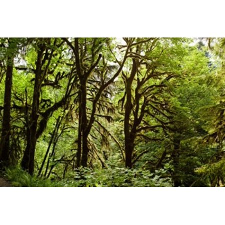 - Trees in a forest Quinault Rainforest Olympic National Park Olympic Peninsula Washington State USA Poster Print by Panoramic Images (36 x 24)