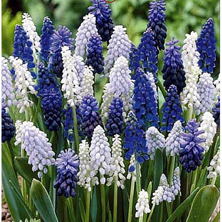 Delft Blue Grape Hyacinth Mix 36 Bulbs - Muscari - 8/9 cm Bulbs, Hardy in zones 3-9 By Honeyman Farms Grape Hyacinth Bulbs
