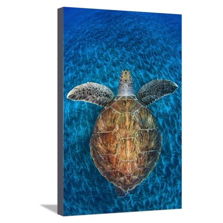 Green Turtle, (Chelonia Mydas), Swimming over Volcanic Sandy Bottom, Armenime Cove, Canary Islands Stretched Canvas Print Wall Art By Jordi - Volcanic Cone