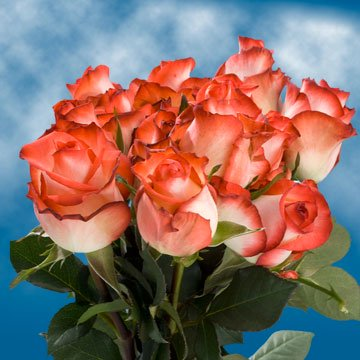 Globalrose 50 Fresh Cut White Roses With Dark Pink Tips   Fresh Flowers Express Delivery   Perfect For Weddings  Anniversary Or Birthdays