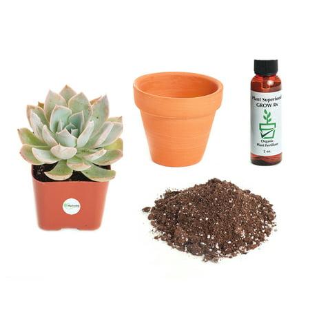 Echeveria Plant - Shop Succulents Echeveria 'Subsessilis' 2In Plant Kit