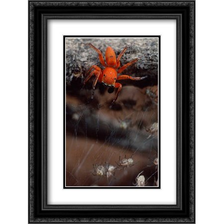 Subterranean jumping spider hunting baby spiders, Kenya 2x Matted 18x24 Black Ornate Framed Art Print by Moffett, Mark - Black Jumping Spider