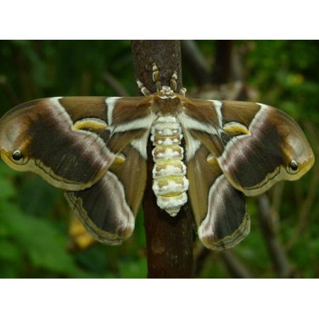 Canvas Print Butterfly Insect Moth Open Giant Animal Wings Stretched Canvas 10 x