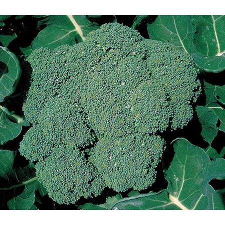 "Premium Crop Broccoli 4 Plants - 2"" Pots - Heavy Yields, Great Taste"