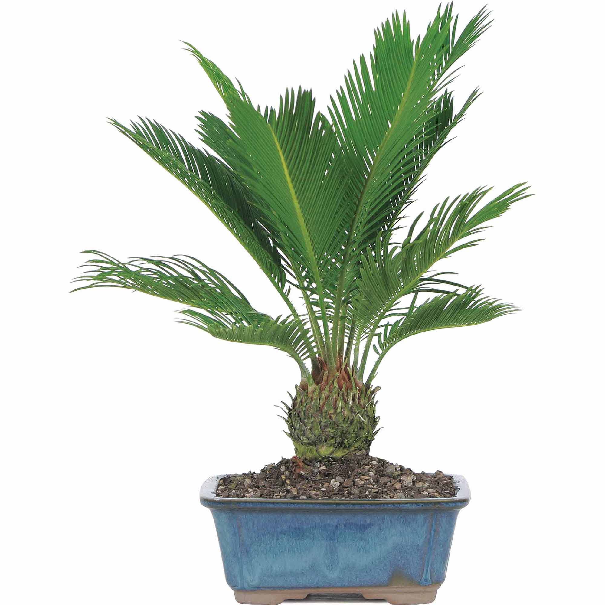 Brussel's Sago Palm Bonsai - Medium - (Indoor)