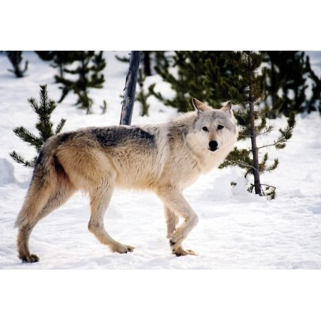 LAMINATED POSTER Nature Gray Wolf Canine Mammal Cold Winter Snow Poster Print 24 x