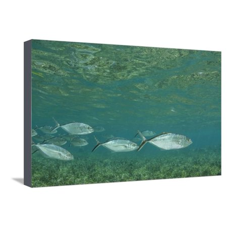Half Moon Reef - Bar Jack, Half Moon Caye, Lighthouse Reef, Atoll, Belize Stretched Canvas Print Wall Art By Pete Oxford