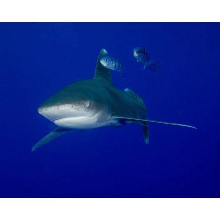 Oceanic whitetip shark swimming with pilot fish Poster Print by Brent BarnesStocktrek Images