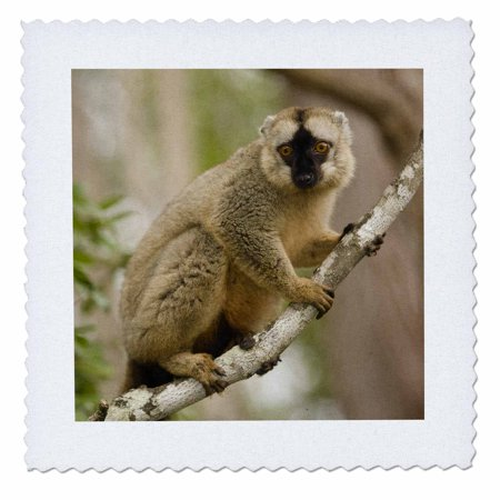 3dRose Brown Lemur in a tree in Madagascar-AF24 JMC0003 - Joe and Mary Ann McDonald - Quilt Square, 8 by - Brown Lemur
