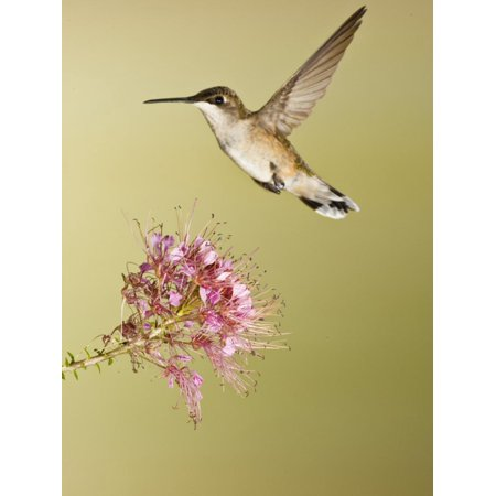 Ruby-Throated Hummingbird Feeding at Rocky Mountain Bee Plant Flower, South Texas, USA Print Wall Art By Larry (Best Plants For South Texas)