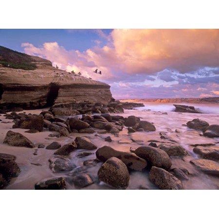 Brown Pelican pair landing on coastal rocks La Jolla California Poster Print by Tim Fitzharris