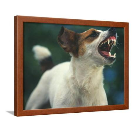 Jack Russell Terrier Barking (Jack Russell Terrier Barking Framed Print Wall Art By DLILLC)
