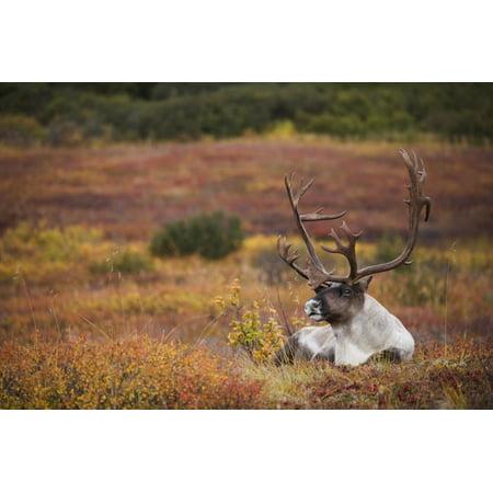 Bull Caribou Bedded On Autumn Tundra In Denali National Park Interior Alaska Canvas Art - Milo Burcham  Design Pics (34 x 22)