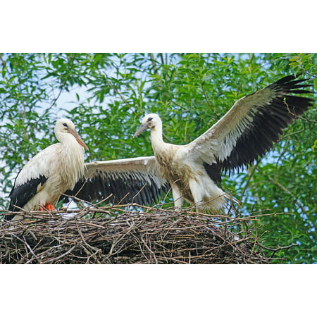Canvas Print White Stork Young Animal Rattle Stork Stork Adebar Stretched Canvas 10 x 14