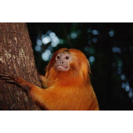 Golden Lion Tamarin  Poco Das Antas Reserve  Atlantic Forest  Brazil Poster Print by Tui De Roy (12 x (Johnnie Walker Gold Label Reserve 18 Years)