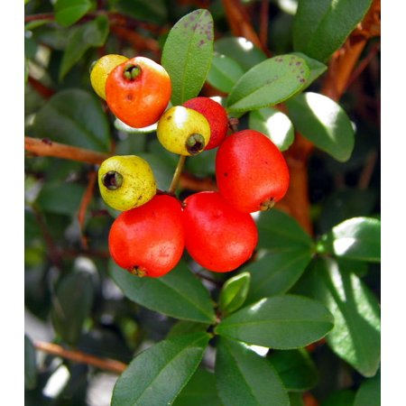 Twinberry Plant - Myrcianthes fragrans - 4