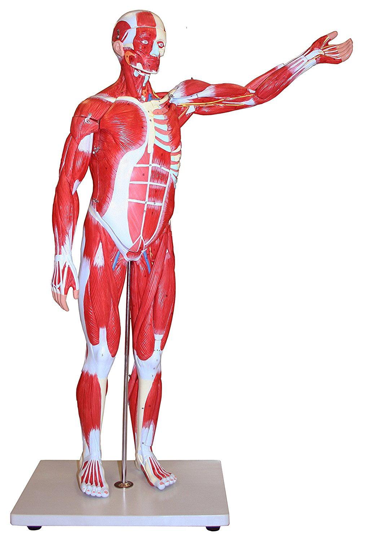 Vision Scientific Muscular Figure 85cm Model, 27 Parts by Vision Scientific