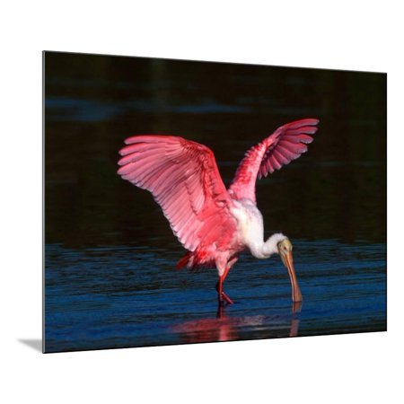 Refuge Point - Roseate Spoonbill, Ding Darling National Wildlife Refuge, Sanibel Island, Florida, USA Wood Mounted Print Wall Art By Charles Sleicher
