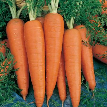 Organic Danvers 126 Carrot Seeds - 4 Oz - Non-GMO, Heirloom Vegetable Garden Seeds - Gardening, Microgreens