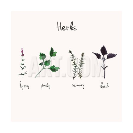 Kitchen Herbs. Watercolor Vector Botanical Collection of Basil, Rosemary, Parsley and Hyssop. Print Wall Art By galya-art