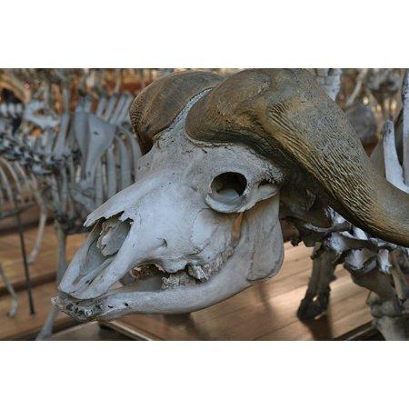Framed Art For Your Wall Skull Bull Animal White 10x13 Frame for $<!---->