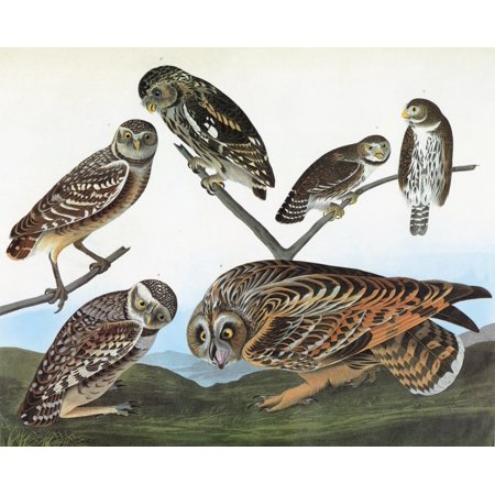 Audubon Owls Nleft Burrowing Owl  Athene Cunicularia  Top Center Little Owl  Athene Noctua  Top Right Northern Pygmy Owl  Glaucidium Gnoma  Bottom Right Short Eared Owl  Asio Flammeus  Engraving After