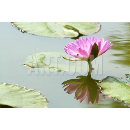 Beautiful Blooming Lotus Flower Or Water Lily With Its Reflection