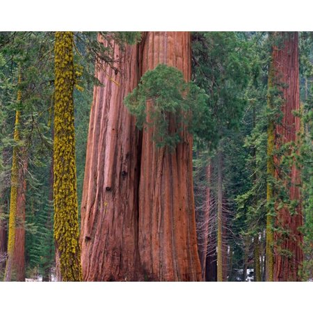 Giant Sequoia trees California Poster Print by Tim - Giant Tree