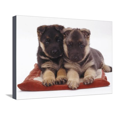 Two German Shepherd Dog Alsatian Pups, 5 Weeks Old, Lying on a Pillow Stretched Canvas Print Wall Art By Jane