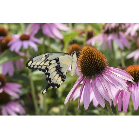 Giant Swallowtail Butterfly on Purple Coneflower Marion County, Il Print Wall Art By Richard and Susan (Homes For Sale In Dewitt County Il)