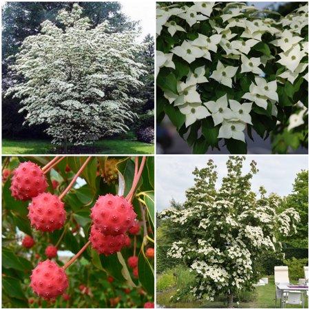 Chinese Dogwood Tree Seeds - Cornus kousa chinensis - 25 Seeds