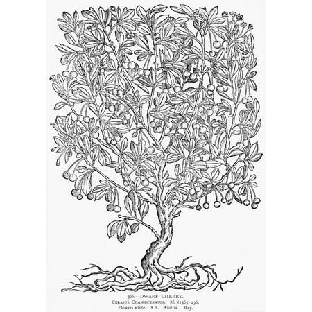 Dwarf Cherry Tree Ncerasus ChamaecerasusNwoodcut 1565 Poster Print by Granger