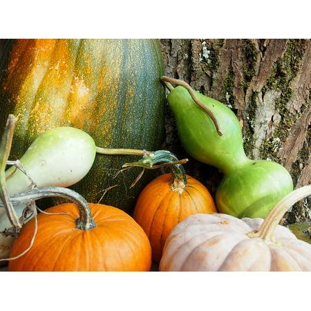 LAMINATED POSTER Squash Pumpkins Harvest Fall Gourds Autumn Poster Print 24 x 36](Gourd Pumpkin)