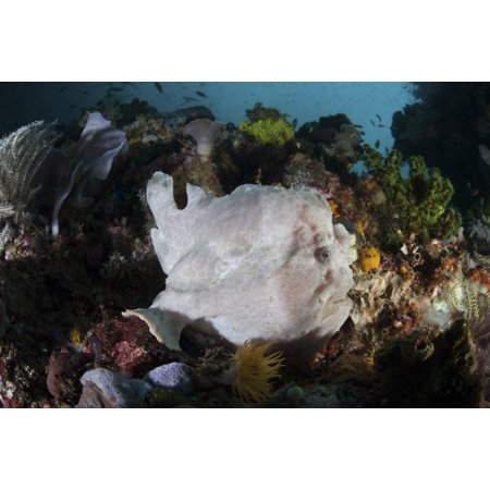 A giant frogfish blends into its reef surroundings in Indonesia Poster Print